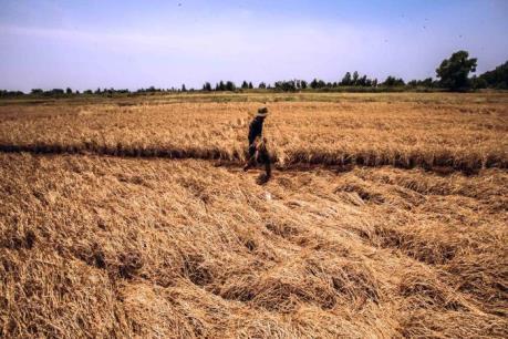 Nhiều diện tích lúa ở Đồng Tháp bị chết do nhiễm phèn
