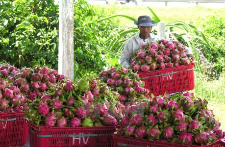 Đài Loan (Trung Quốc) dỡ bỏ lệnh cấm nhập khẩu thanh long của Việt Nam