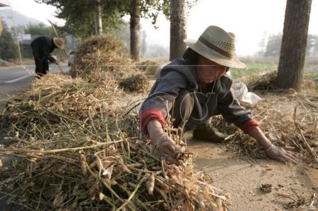 Trung Quốc ngừng trợ giá ngô nông dân chuyển sang trồng đậu tương