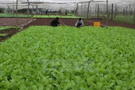 Vì sao rau sạch tiêu chuẩn VietGAP khó tiêu thụ?
