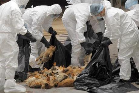 Hong Kong tiêu hủy 4.500 gia cầm do lo ngại virus H7N9