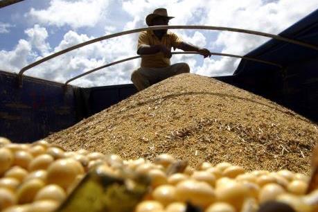 FAO: Brazil sẽ trở thành nước sản xuất đậu tương số một thế giới