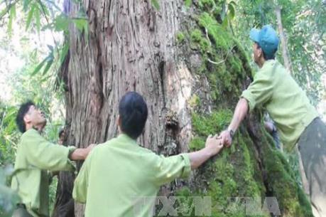 Vụ phá rừng pơ mu: Tạm đình chỉ Chi cục trưởng Chi cục Hải quan Nam Giang