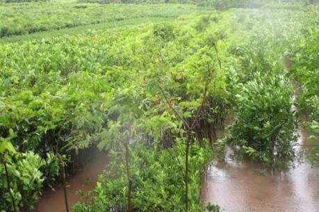 """Ảnh hưởng của bão số 1: Hà Nội khẩn trương """"cứu"""" rau màu ngập úng"""