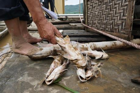 Cá lồng trên sông Mã tiếp tục chết hàng loạt