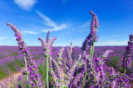 Ngắm cánh đồng hoa oải hương tuyệt đẹp trên đất Pháp