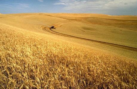 Nga sẽ dẫn đầu thế giới về xuất khẩu lúa mì