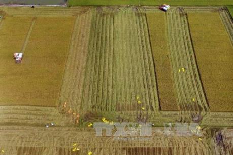 Việt Nam và Thái Lan thắng thầu cung cấp 250.000 tấn gạo sang Philippines