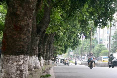 Hà Nội dịch chuyển 106 cây xanh trên đường Kim Mã