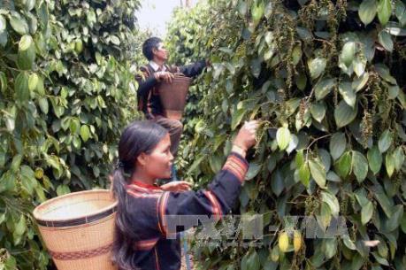 Người dân Tây Nguyên ồ ạt mở rộng diện tích trồng cây hồ tiêu