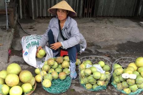 Thanh trà mất mùa, nông dân Thừa Thiên-Huế thiệt hại nặng