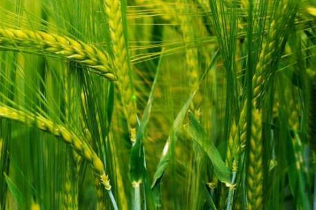 FAO: Sản lượng thóc gạo và lúa mỳ thế giới sẽ cao kỷ lục năm nay