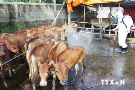 Bệnh lở mồm long móng có nguy cơ lan rộng ở Đắk Lắk