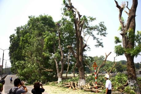 Xung quanh việc đánh chuyển số cây xà cừ cổ thụ trên phố Kim Mã