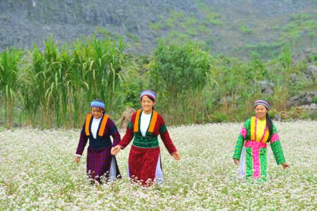 Hà Giang hút khách du lịch mùa hoa tam giác mạch