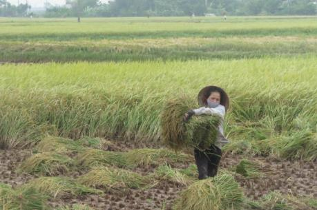 Giá lúa đang tăng