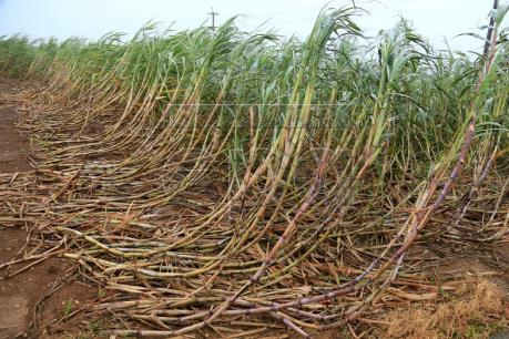 Sản lượng mía của Thái Lan dự kiến giảm mạnh vì hạn hán