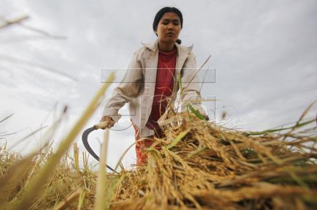 Xuất khẩu gạo của Myanmar giảm