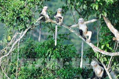 Ghé thăm Khau Ca, nơi lưu giữ quần thể Voọc mũi hếch quý hiếm của thế giới