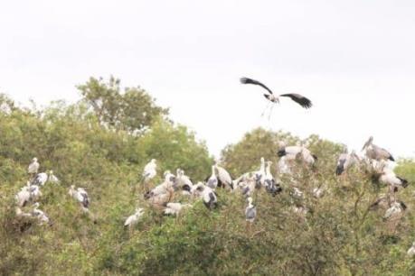 Hơn 2.000 con cò ốc về sinh sống ở Vườn Quốc gia Tràm Chim