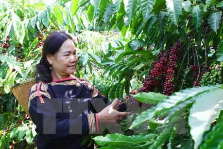 Xuất khẩu cà phê sang Algeria tăng mạnh