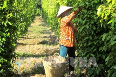 Liên kết với nông dân sản xuất tiêu GlobalGAP