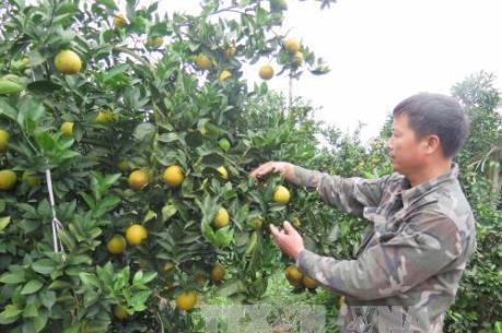 Người trồng cam ở Hà Tĩnh lao đao sau lũ