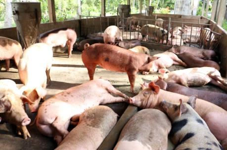 Lợn rớt giá, người chăn nuôi chịu lỗ
