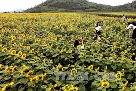 Cánh đồng hoa hướng dương lớn nhất Việt Nam thu hút khách du lịch