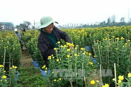 Làng hoa Đông Giang tất bật chuẩn bị Tết Nguyên đán 2017