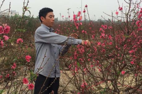Đào nở sớm, người trồng hoa lo mất Tết