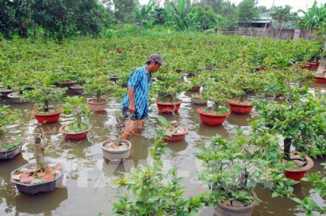 """Người trồng mai ở Tp. Hồ Chí Minh """"lao đao"""" vì thời tiết"""