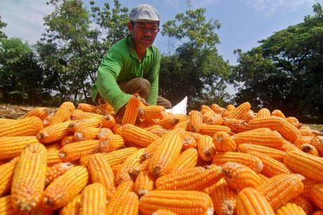 Indonesia chủ trương ngừng nhập khẩu ngô trong năm 2017
