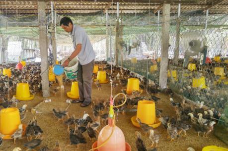 Cung ứng khoảng 1.000 con gà ta Gò Công tiêu chuẩn VietGap phục vụ Tết