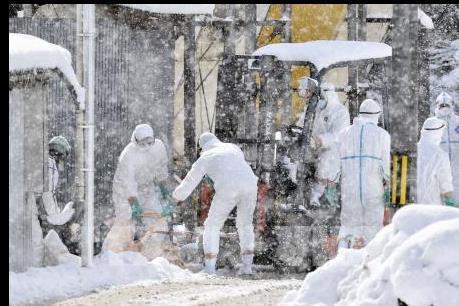 Nhật Bản tiếp tục tiêu hủy hàng chục nghìn gia cầm