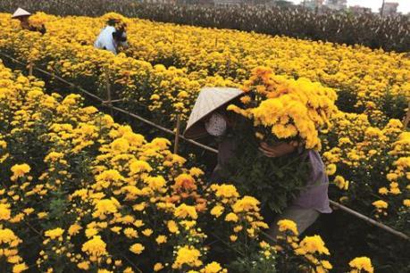 Nguyên nhân hàng nghìn chậu hoa Tết tại Phú Yên phải nhổ bỏ