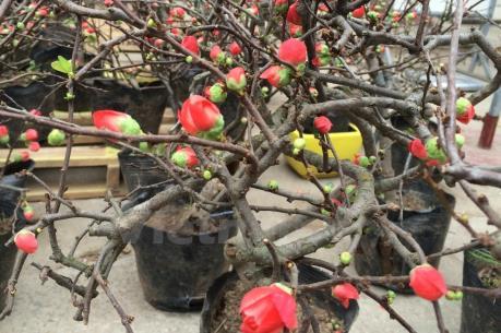 """Mai đỏ: Loại hoa mới cho người dân """"chơi"""" Tết"""
