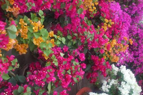 """Chợ hoa Xuân miền Tây: Hoa kiểng độc, lạ """"soán ngôi"""" mai"""