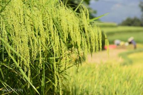 Giá lúa ở Đồng bằng sông Cửu Long tăng