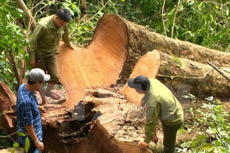 Thực hư chuyện lâm tặc dùng vũ lực để cướp gỗ tại Gia Lai