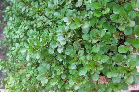 Siêu lợi nhuận từ trồng xà lách xoong