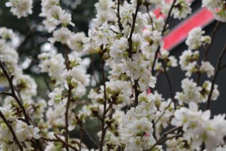 Lễ hội hoa anh đào tại Hà Nội kéo dài thêm một ngày