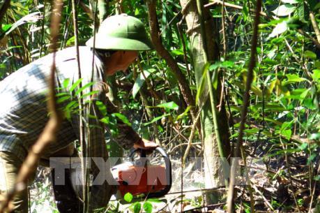 Phú Yên: Rừng phòng hộ đang bị phá để phục vụ dự án chăn nuôi bò
