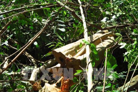 Lợi dụng khai thác rừng trồng để chặt cây rừng tự nhiên