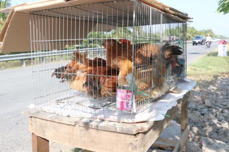 Buộc thôi việc nhân viên Trường mầm non sử dụng gà bị bệnh để nấu ăn cho trẻ