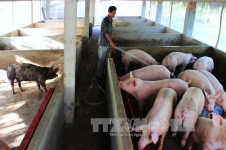 Đeo vòng nhận diện cho lợn: Vì sao người chăn nuôi không hào hứng?