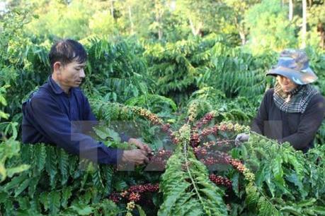 Thúc đẩy liên kết giữa doanh nghiệp và nông dân trong ngành hàng cà phê, hồ tiêu