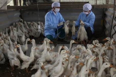 Đắk Lắk tiêu hủy 3.565 con vịt, gà bị cúm H5N1