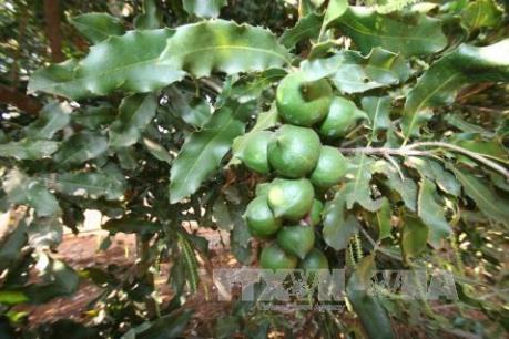 Kon Tum chuyển rừng thông kém hiệu quả sang trồng Mắc ca và các loại cây ăn quả khác