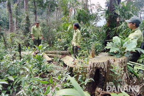 Đà Nẵng làm rõ, xử lý nghiêm vụ phá rừng tại khu vực mỏ vàng Khe Đương